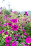 Brunch von purpurroten Blumen lizenzfreie stockbilder