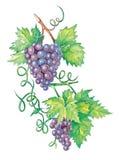 brunch winogron Zdjęcia Royalty Free
