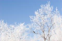 Brunches of de bomen die met sneeuw en een blauw worden behandeld Royalty-vrije Stock Foto