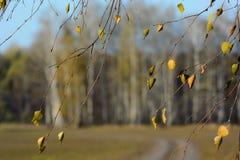 Brunches del abedul con las hojas de otoño viejas en fondo borroso del bosque del fango Imagen de archivo libre de regalías