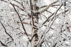 Brunches del abedul cubiertos con hielo Imagen de archivo