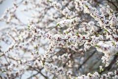 Brunches del flor de los albaricoqueros del melocotón y en el fondo del cielo azul Día de resorte asoleado Fotos de archivo
