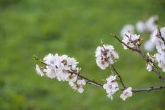 Brunches del flor de los albaricoqueros del melocotón y en la parte posterior del cielo azul Foto de archivo libre de regalías