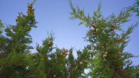 Brunches with fruit in cypress grove on windy day. Brunches with fruit in cypress grove video on a sunny windy day from below on Cyprus stock footage