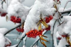 Brunches of rowan berries under snow stock photos