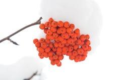 Brunches van ashberry Royalty-vrije Stock Afbeeldingen