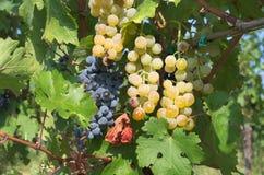 Brunches van druiven klaar voor oogst Stock Foto