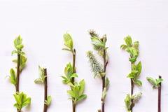 Brunchs d'arbre avec de jeunes feuilles image libre de droits