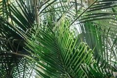 Brunchs der Palme Grün lässt Hintergrund Tapete mit dünnen Palmblättern Lizenzfreie Stockbilder