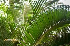 Brunchs der Palme Grün lässt Hintergrund Tapete mit dünnen Palmblättern Stockbilder