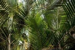 Brunchs der Palme Grün lässt Hintergrund Tapete mit dünnen Palmblättern Lizenzfreie Stockfotos