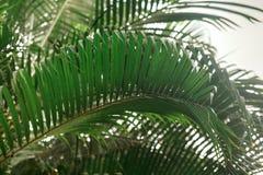 Brunchs der Palme Grün lässt Hintergrund Tapete mit dünnen Palmblättern Stockfoto