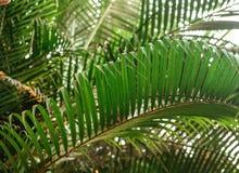 Brunchs der Palme Grün lässt Hintergrund Tapete mit dünnen Palmblättern Stockfotos