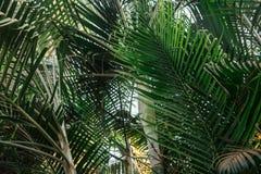 Brunchs der Palme Grün lässt Hintergrund Tapete mit dünnen Palmblättern Stockbild