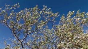 Bruneau sand dunes idaho 27 olive tree stock video footage