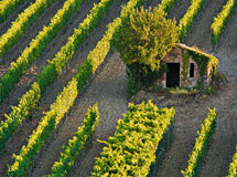 Brunello di Montalchino grows there Royalty Free Stock Image