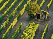 Brunello di Montalchino si sviluppa là Immagine Stock Libera da Diritti