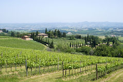 Brunello vines in Montalcino Royalty Free Stock Photography