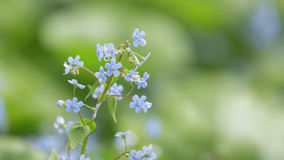 Brunerra flowers in bloom close up Stock Images