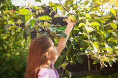 Brunette girl picking green apple at garden Stock Photo