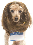 Brunette Poodle With Blank Name Tag Stock Image