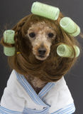 Brunette Poodle with Green Curlers Royalty Free Stock Images