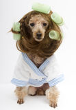 Brunette Poodle with Green Curlers and A White Bathrobe Posing Royalty Free Stock Photography