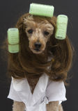 Brunette Poodle With Three Green Curlers Stock Images