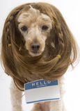 Brunette Poodle Wearing Blank Name Tag Sticker Stock Photography