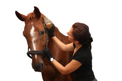 Brunette woman grooming brown horse for the riding isolated on w Stock Photo