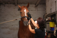 Brunette woman grooming brown horse for the riding Royalty Free Stock Photo
