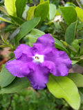 Brunfelsia australis flower Stock Images