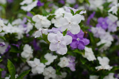 Brunfelsia Australis Royalty Free Stock Photo