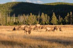 Brunftige Elch-Herde Stockbild