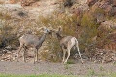 Brunftige Wüsten-Bighorn-RAM-Auseinandersetzung Stockfotografie