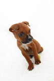 brunisca il cane del pugile Fotografia Stock Libera da Diritti