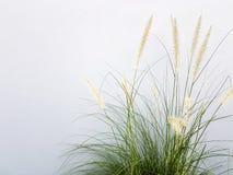 Brunnengras auf grauem Wandhintergrund Lizenzfreies Stockfoto