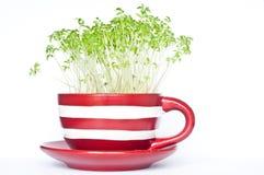 Brunnenkresse, die in einer roten und weißen Streifentasse und untertasse wächst Stockfoto