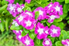 Brunnenkresse, Vincablumenbuschrosa-Weißblüte Lizenzfreie Stockfotografie