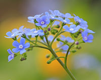 Brunnera Stockfoto