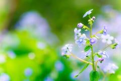 Brunnera blomma Fotografering för Bildbyråer