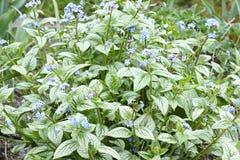 Brunnera flower Stock Image