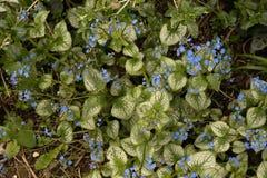 Brunnera Jack Frost in flower stock photos