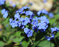 Brunnera macrophylla (Bugloss) stock photography