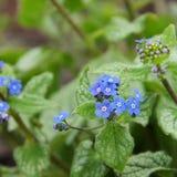 Brunnera macrophylla royalty free stock image