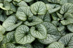 Brunnera Macrophylla Plant Royalty Free Stock Images