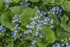 Brunneramacrophylla, ?Overzeese Hart ?- Siberische bugloss, groot vergeet-mij-nietje, largeleaf brunnera, heartleaf - kleine en g stock afbeelding