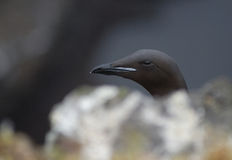 Brunnich guillemot (Uria lomvia) in Latrabjarg cliffs, Iceland Royalty Free Stock Photos