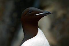 Brunnich's Guillemot, Uria lomvia, detail portrait white bird with black head sitting on the rock, Svalbard, Norway Stock Image