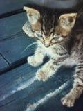 Bruno кот Стоковая Фотография